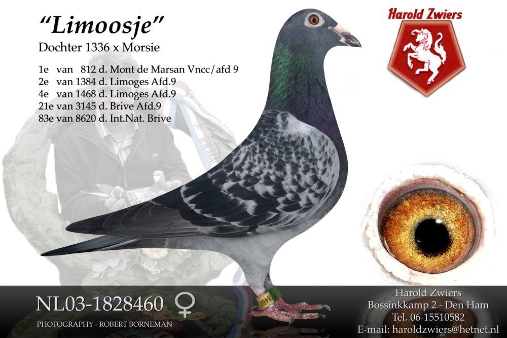 NL03-1828460 Limoosje