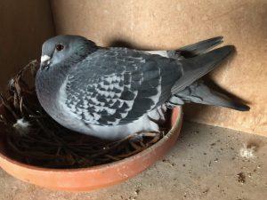 Dirkje mijn 2e duif